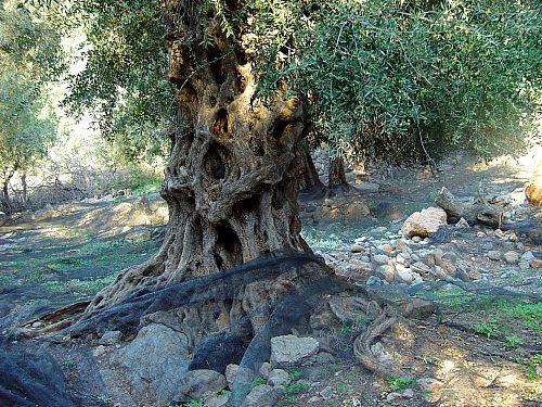 old-olivetree.jpg